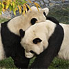 Giant Panda Habitat, David M. Rubenstein Family