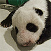 Giant Panda Quiz and Crossword