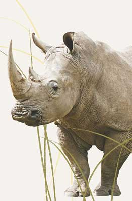 Fascinating—Endangered RHINO