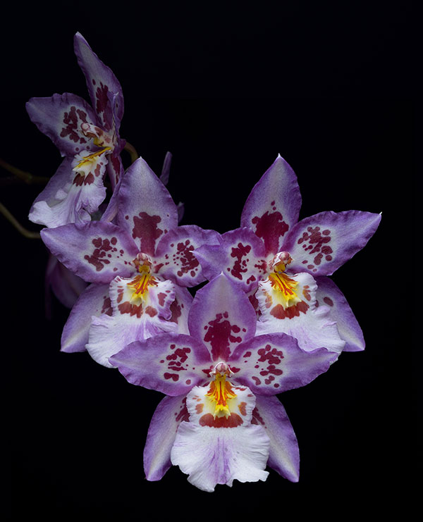 orchids a moment  smithsonian institution, Natural flower
