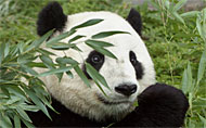 Image of National Zoo panda