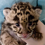 Clouded Leopard Cubs born at the Zoo