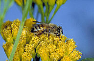 Africanized bee: RA91-19346 - OPPS - Photographic Services