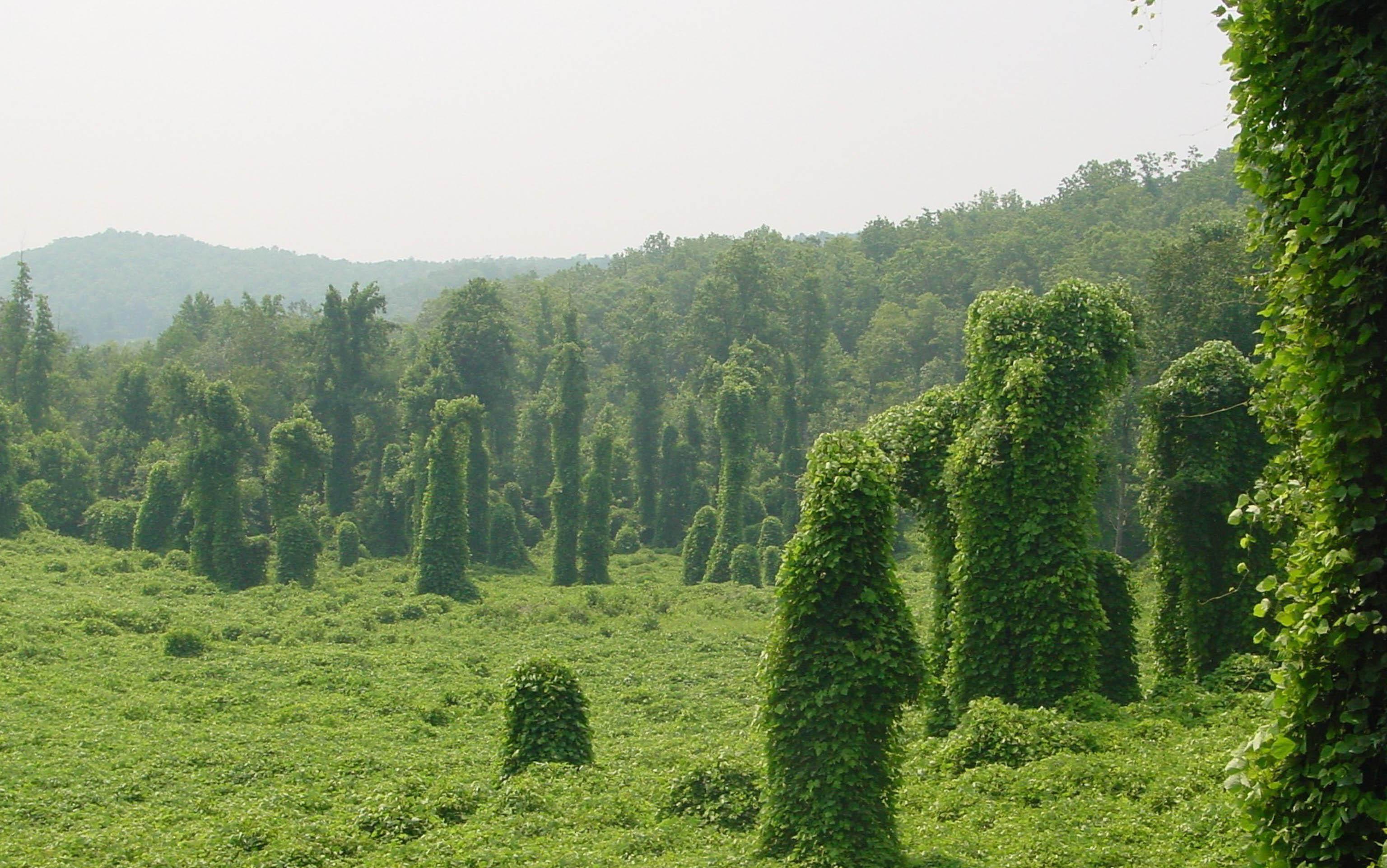 Kudzu covered forest