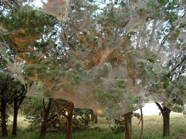 Tetragnathid web at  Arkansas Bend Park, Lago Vista, TX. (Photo by: Joe Lapp)