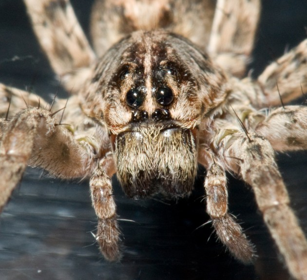 Wolf spider face (Photo by: e_monk)