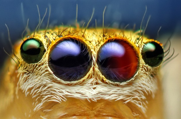 Anterior Median and Lateral Eyes of a Female Jumping Spider, Maevia inclemens. (Photo by: Thomas Shahan)