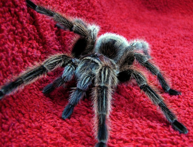 Chilean rose-haired tarantula, Grammostola rosea. (Photo by Matt Reinbold)