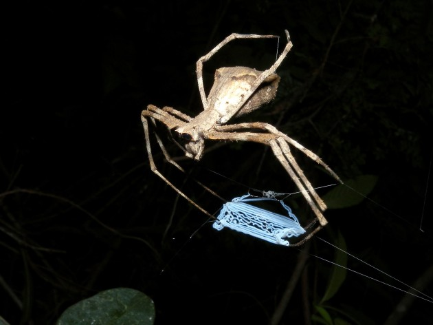 Net-throwing Spider, Ankarafantsika, Madagascar. (Photo by: Frank Vassen)