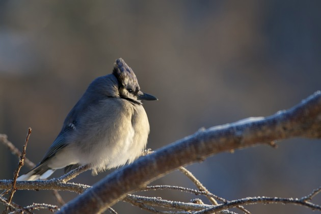 Feathers serve many purposes, from helping to attract a mate to providing camouflage. One of the most important jobs feathers have in winter is, as with this blue jay, to keep the bird warm and dry. (Flickr photo by Nick Harris)
