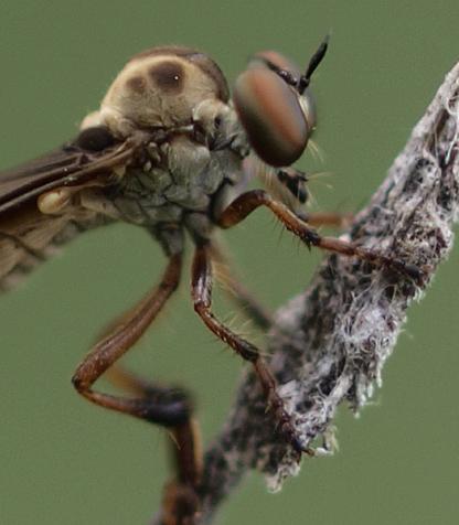 Assassin Fly