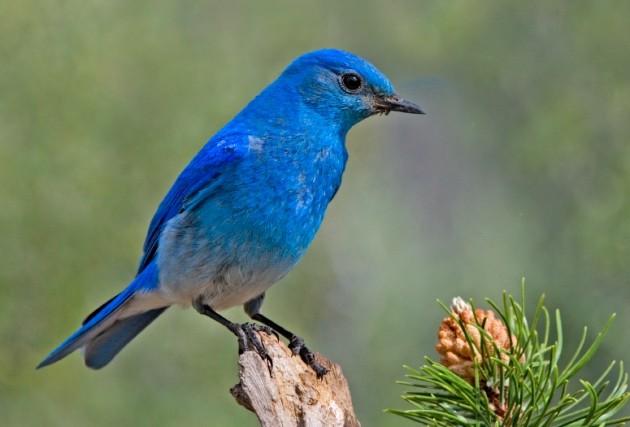 blue bird on a conifer.