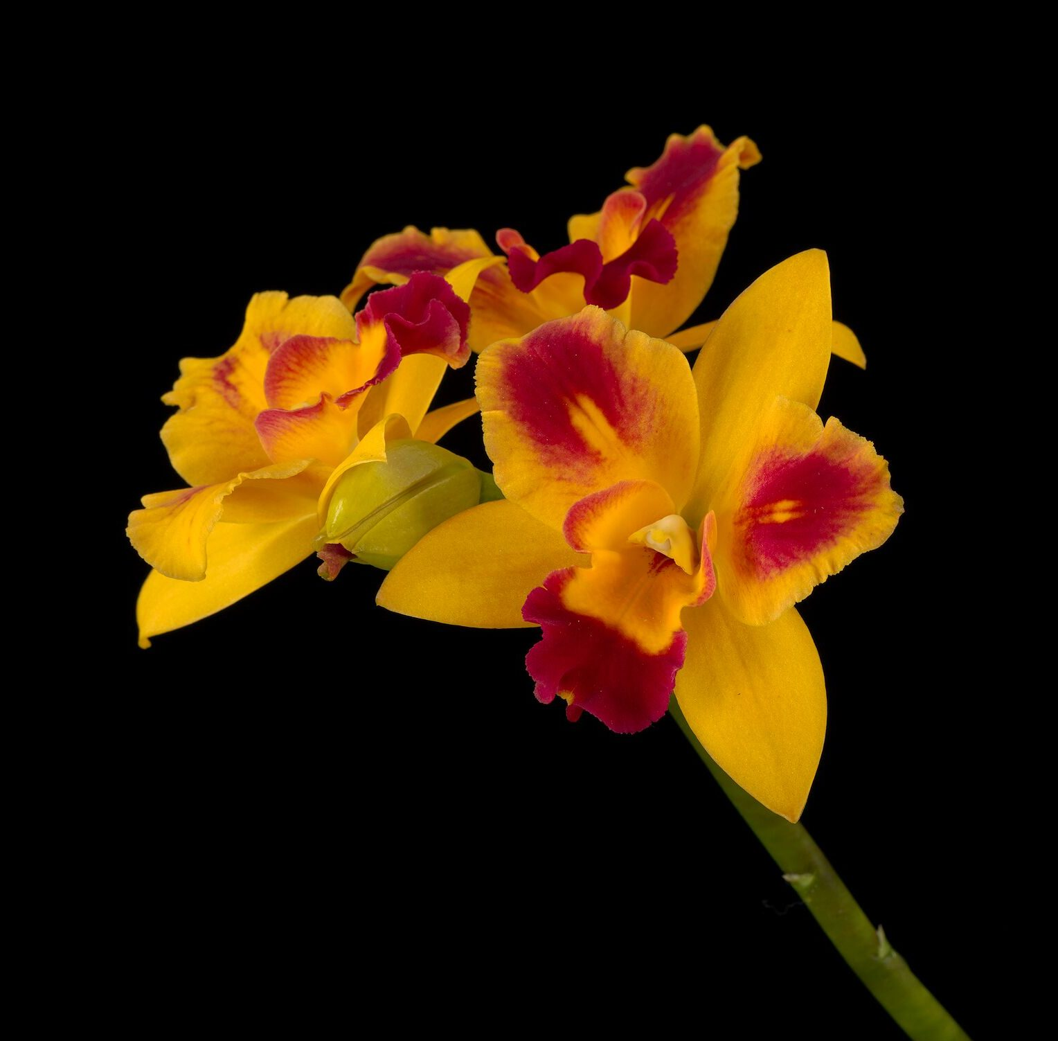yellow orchid with magenta highlights