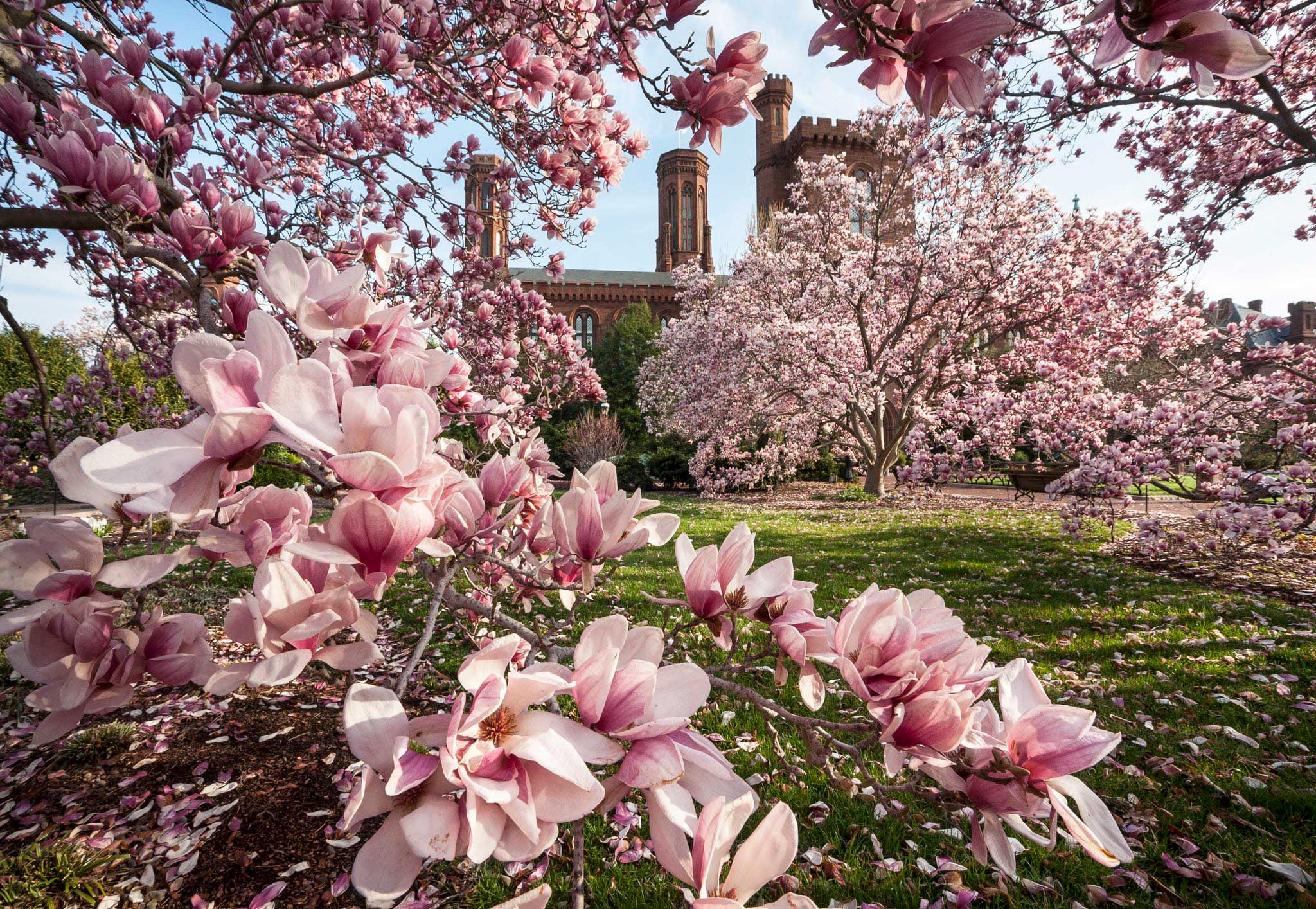 Saucer magnolia trees with pink flowers in front of the Smithsonian Castle building.