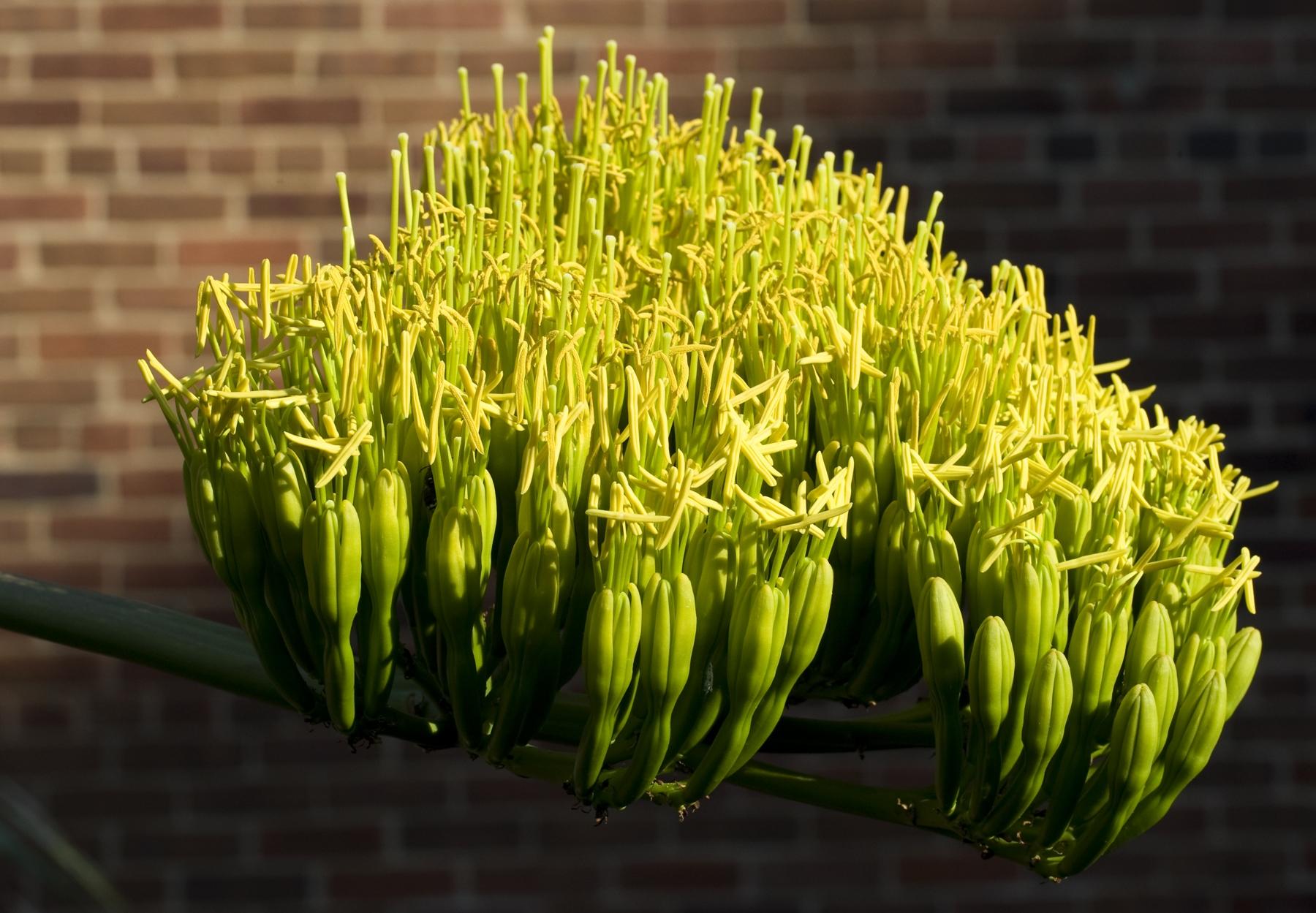 как цветет агава фото здесь собрано
