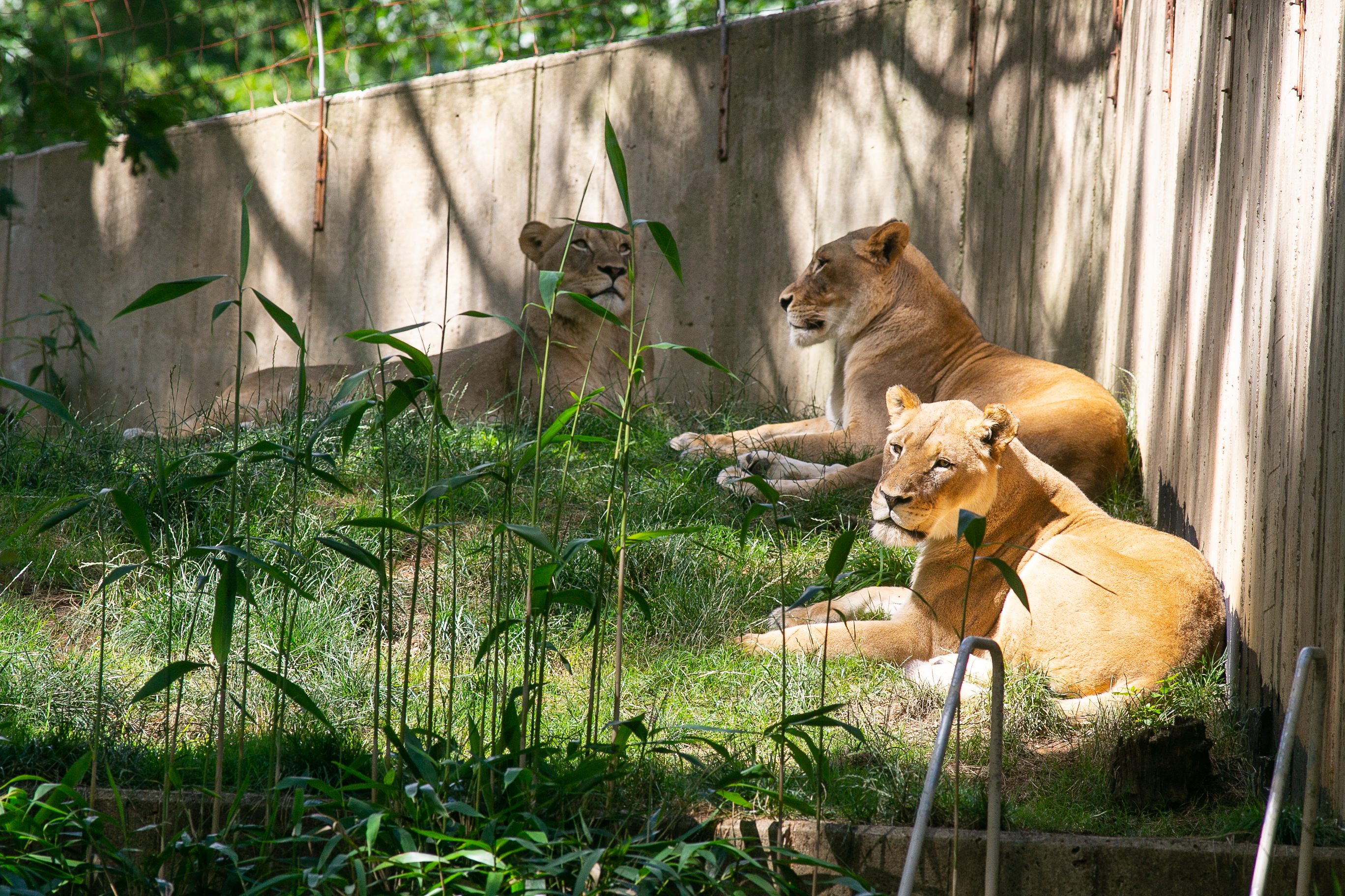 Three lions lounge in enclosure