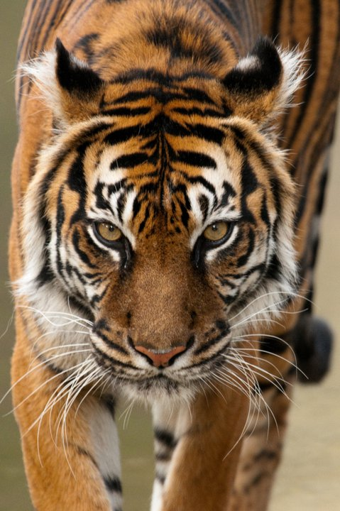 Soyono the Sumatran Tiger