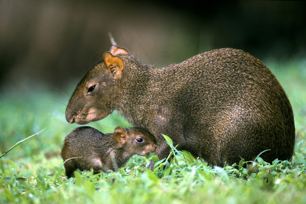 Agoudi mother and baby