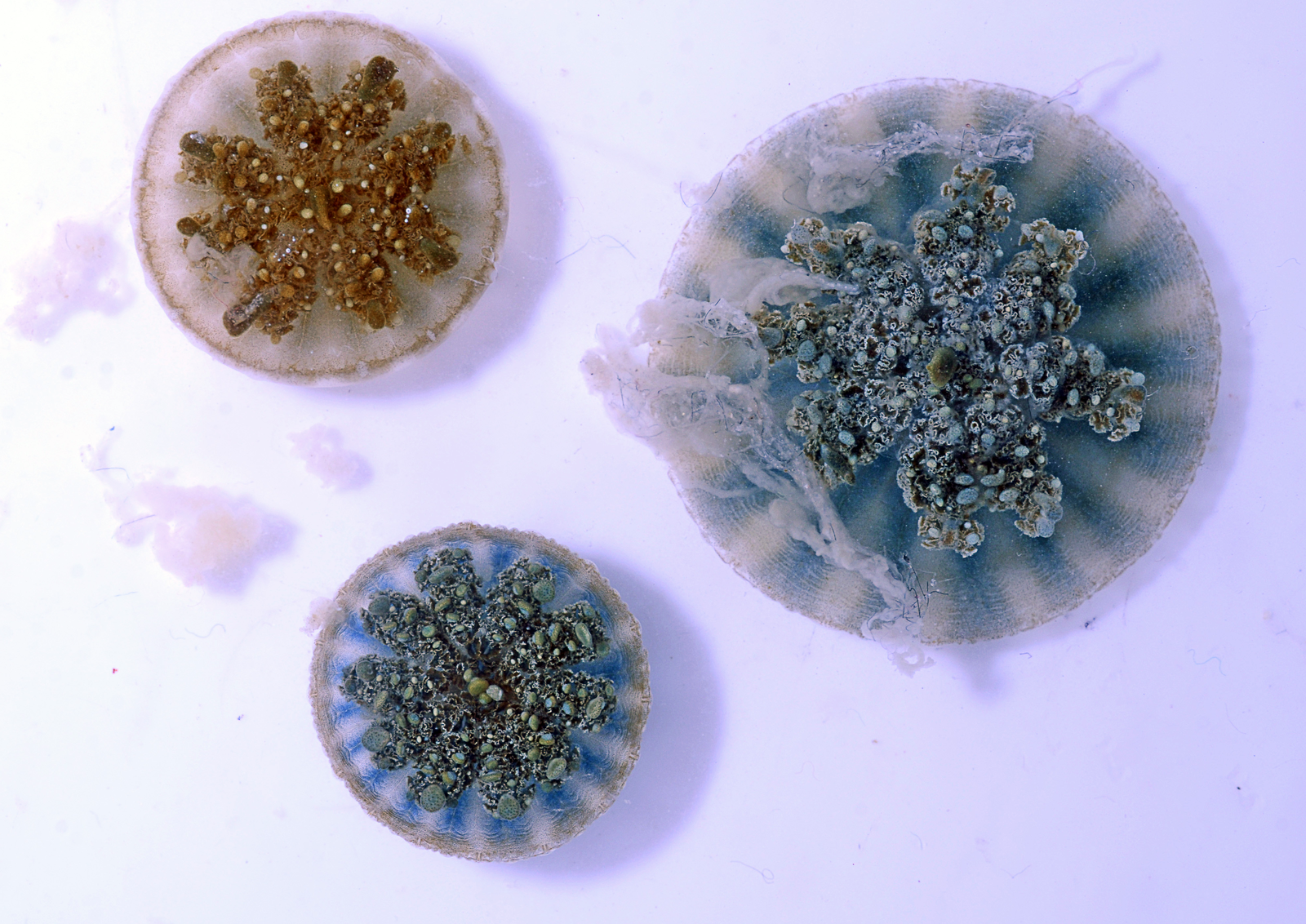 Three Cassiopea, or upside-down jellyfish