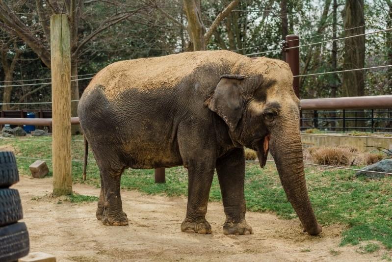 Ambika the elephant