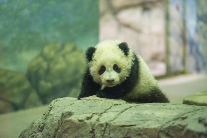 Bao Bao the baby giant panda