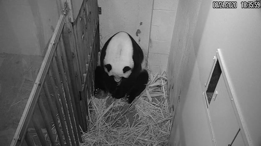 Screenshot of panda giving birth