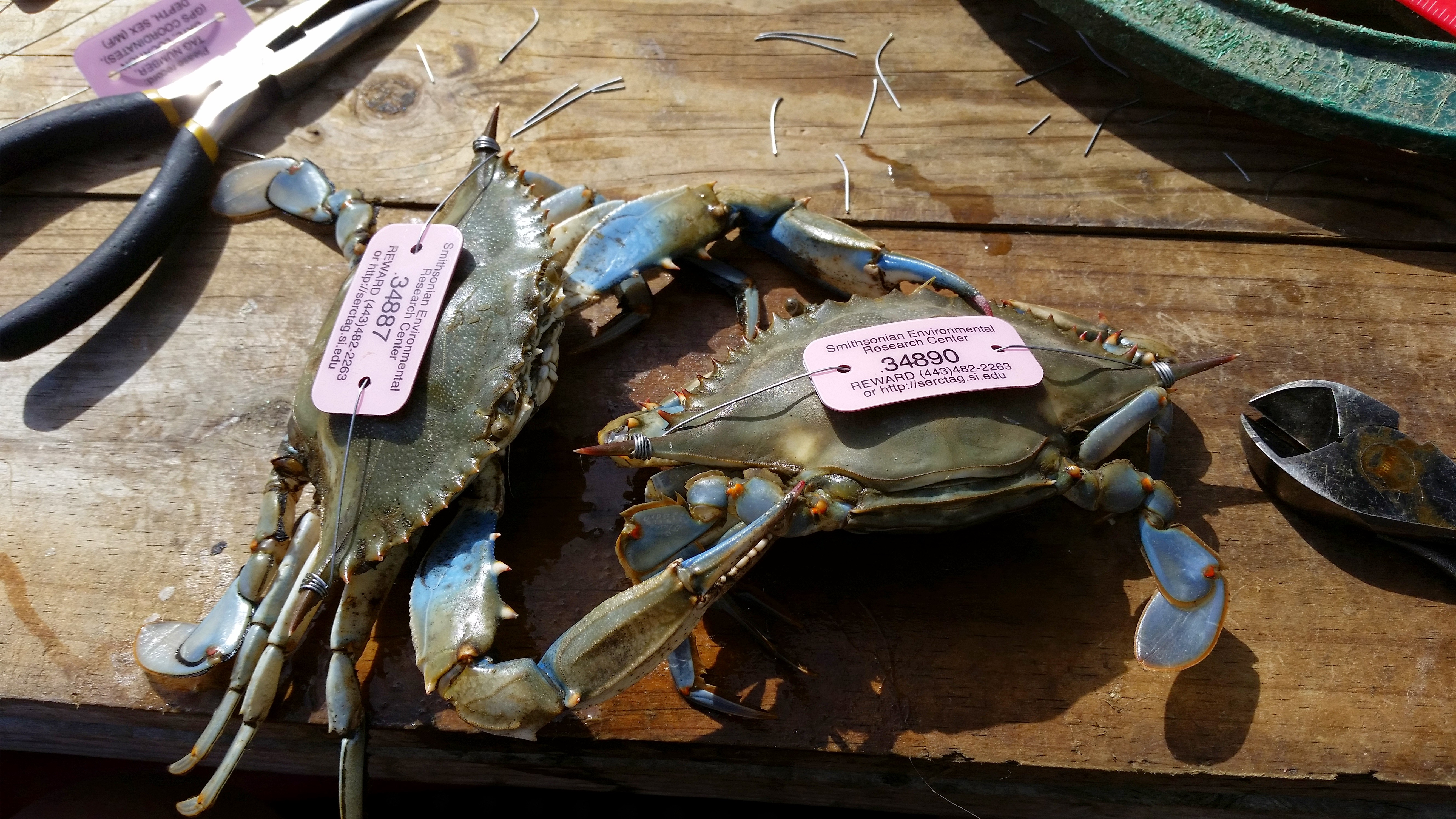 Two crabs lay on a table with tags on their backs