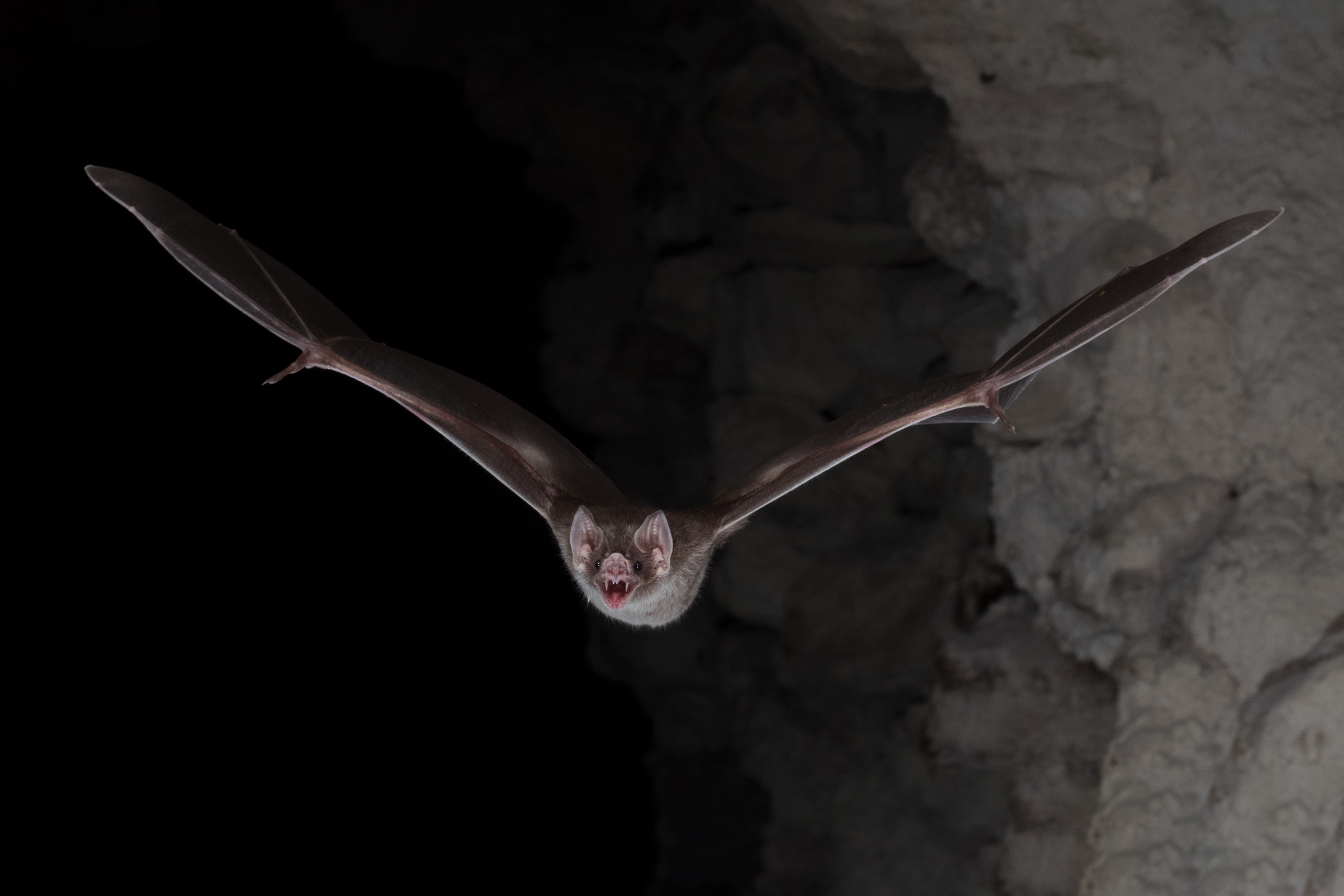 Bat flying directly at camera