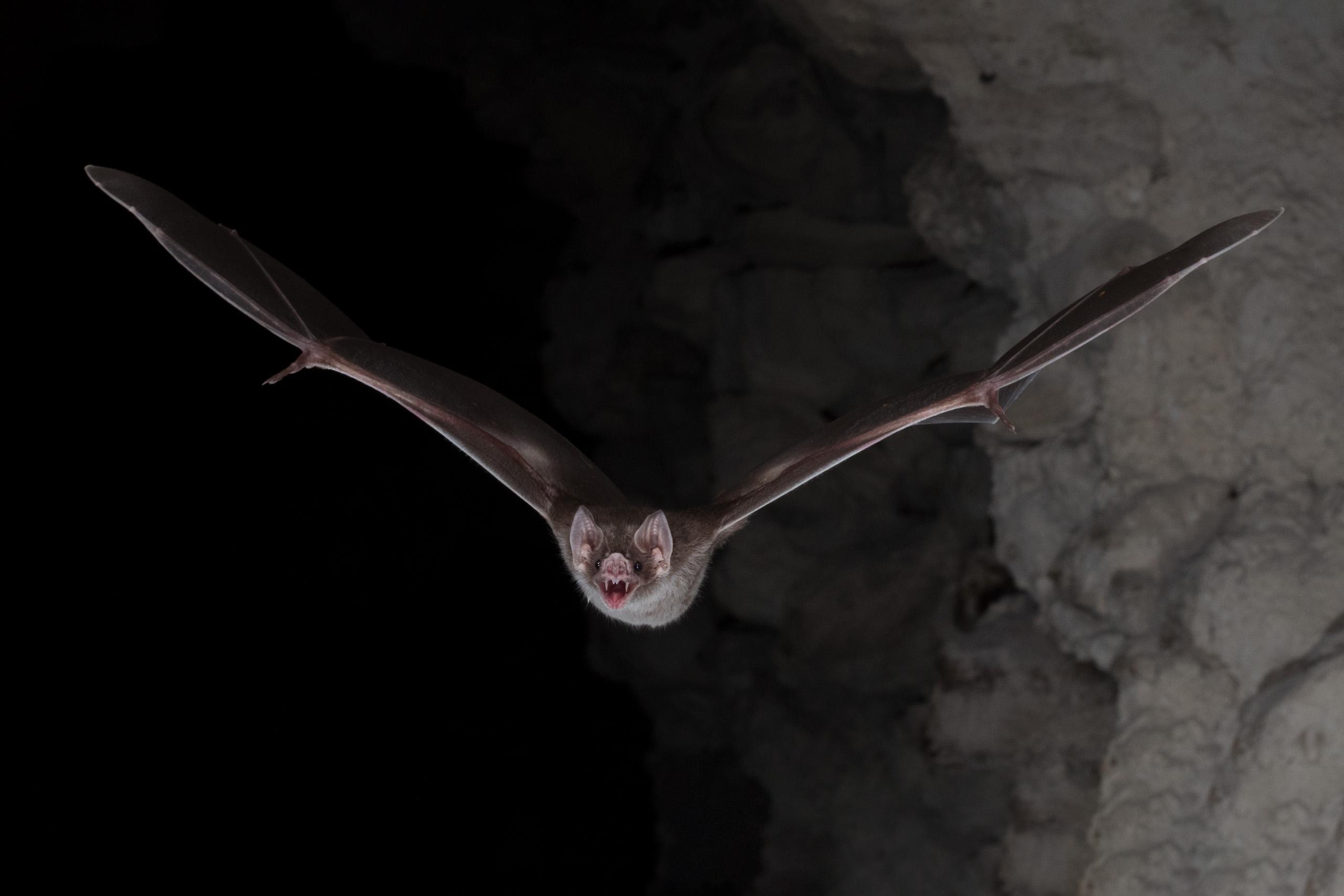 Vampire bat flying straight at camera
