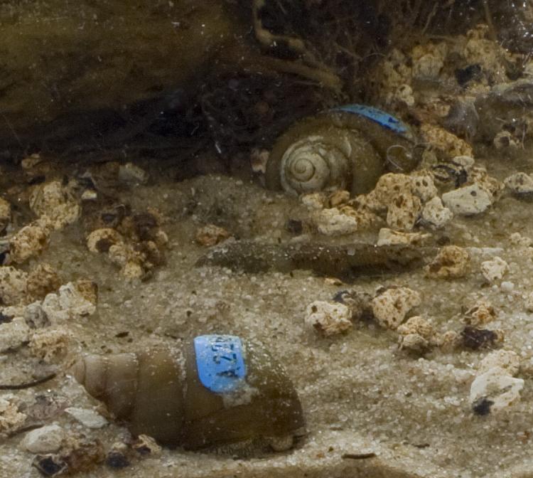 Brobertsoni in Aquarium