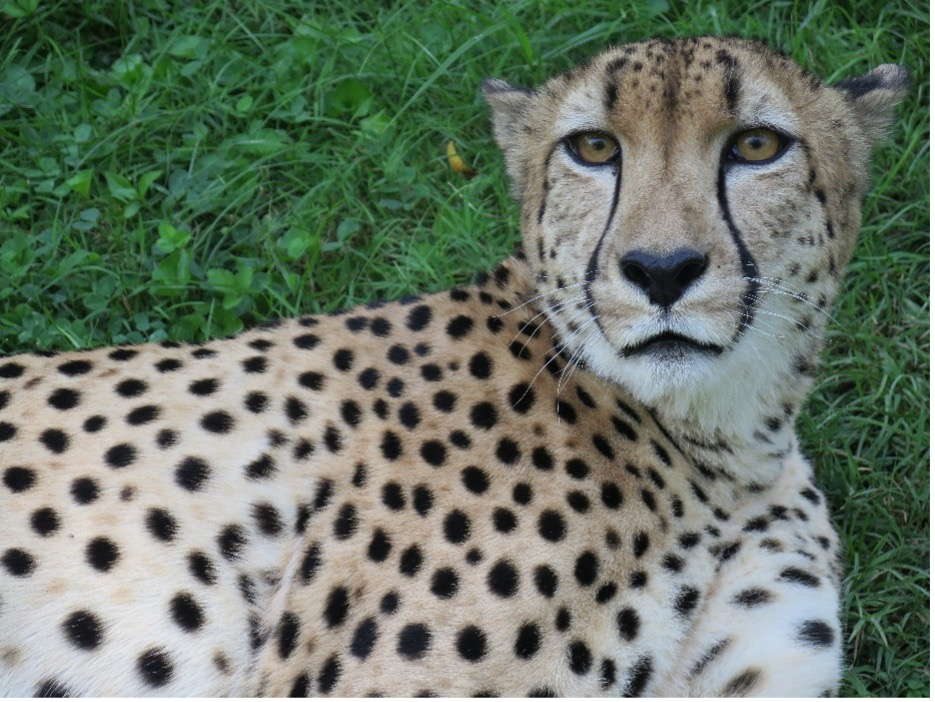 Cheetah sits in grass