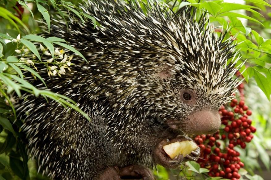 Prehensile tailed porcupine Clark