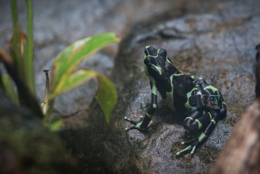 Limosa harlequin frog on rock