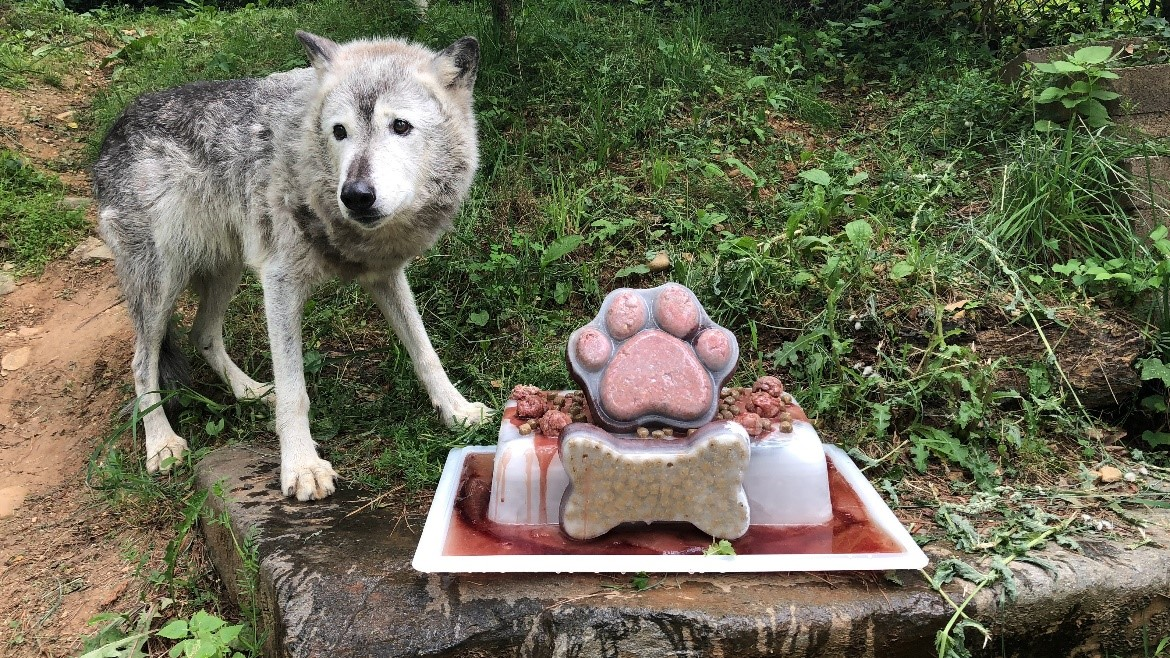 Gray wolf Coby with birthday treat