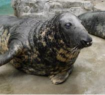 Gunnar the Gray Seal