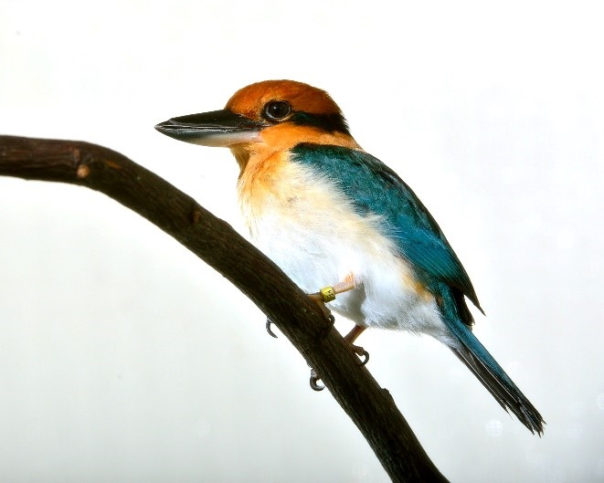 Specimen photo of blue and yellow Guam Kingfisher