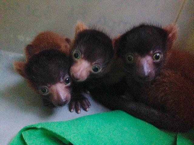 three baby red ruffed lemurs