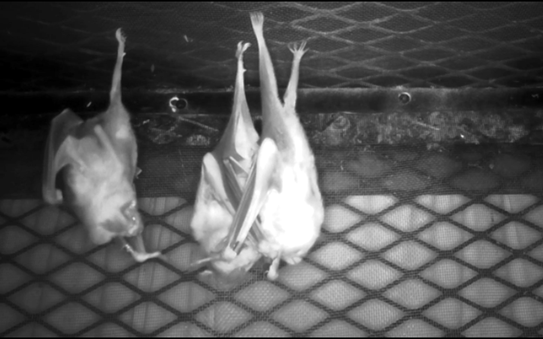 Three bats hang upside from a manmade enclosure