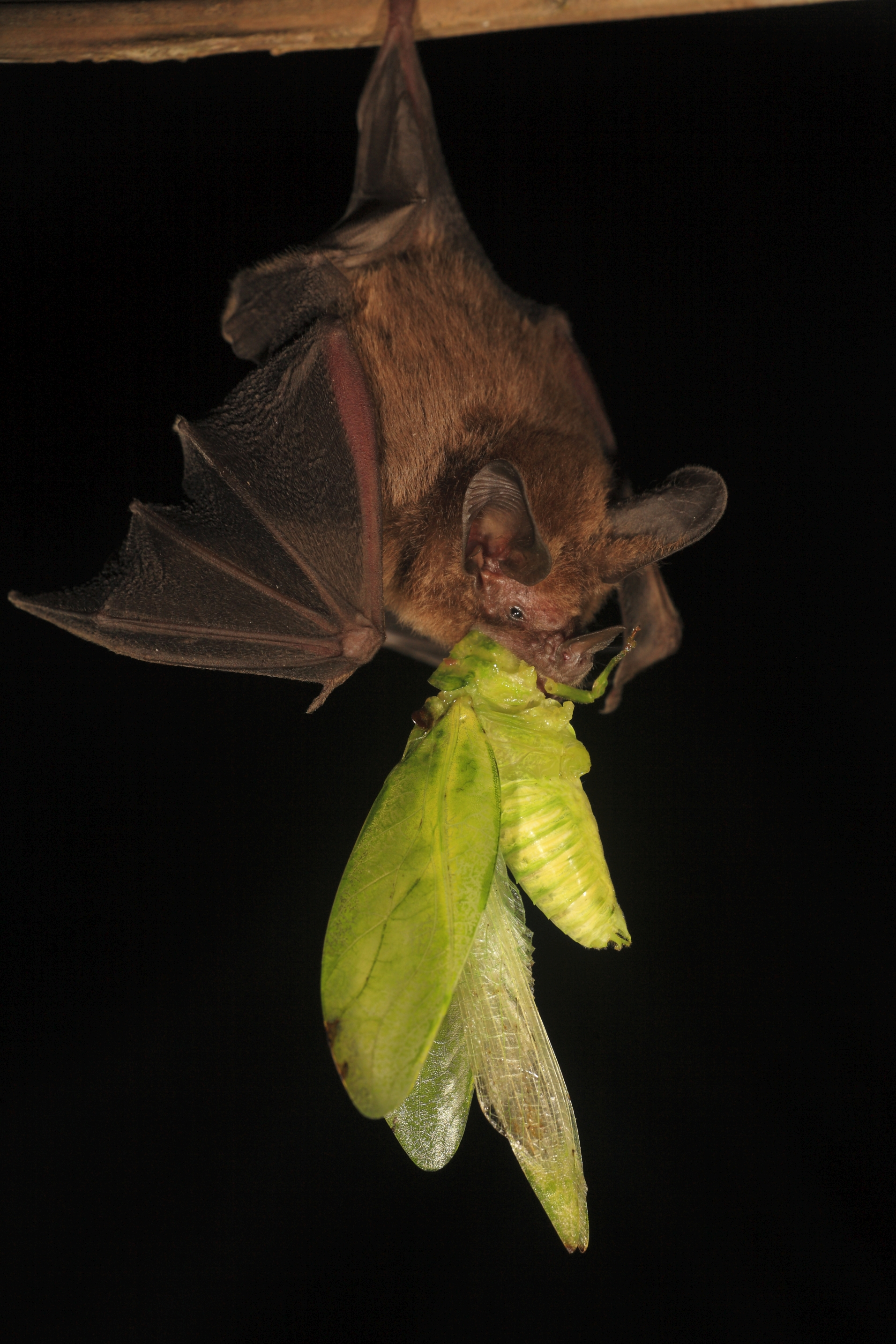 Bat with giant katydid in its mouth