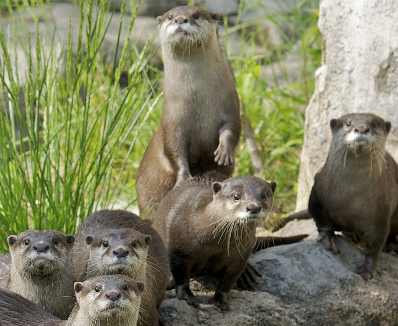 Asian small-clawed otters (Amblonyx cinereus)