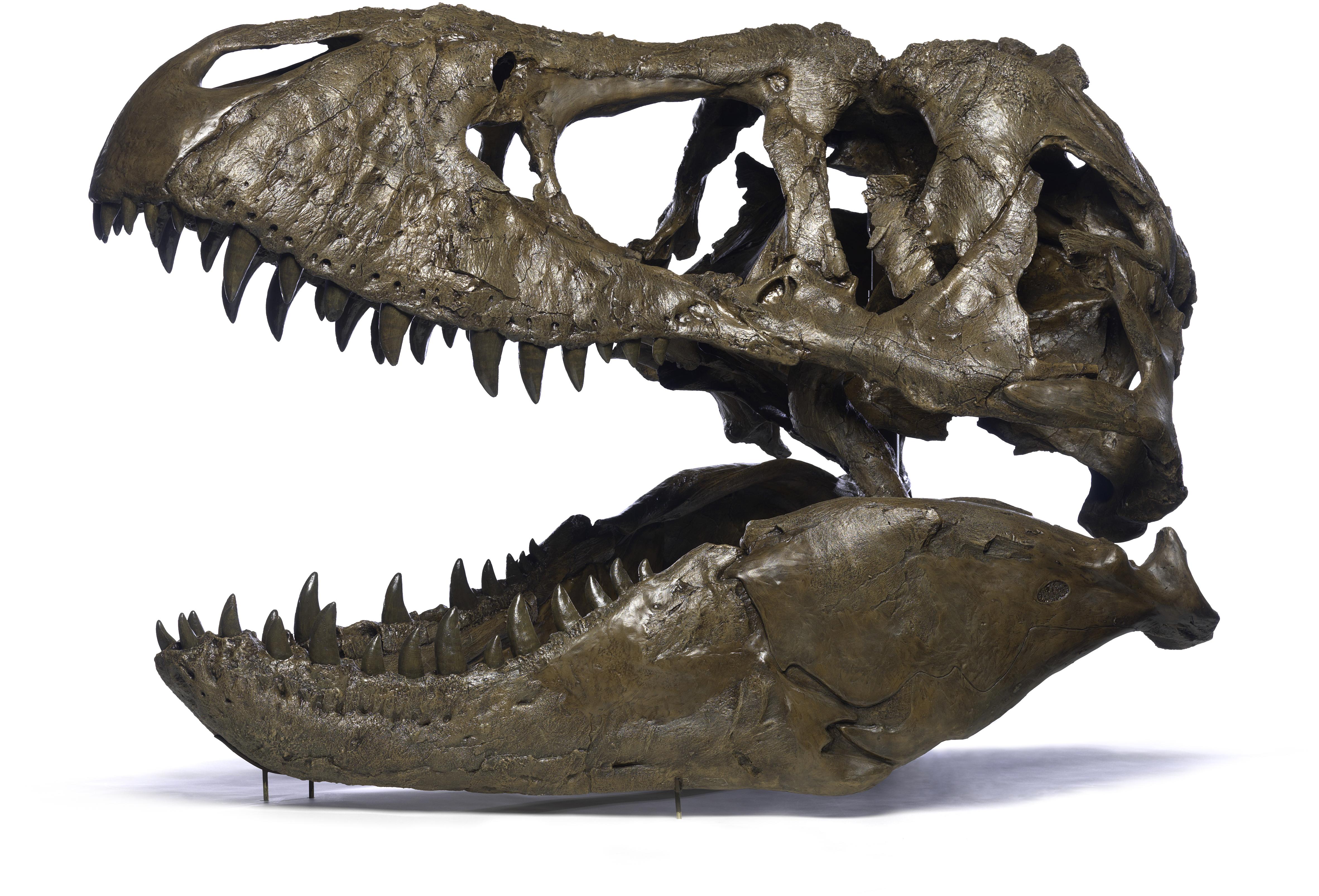T. rex skull resin cast