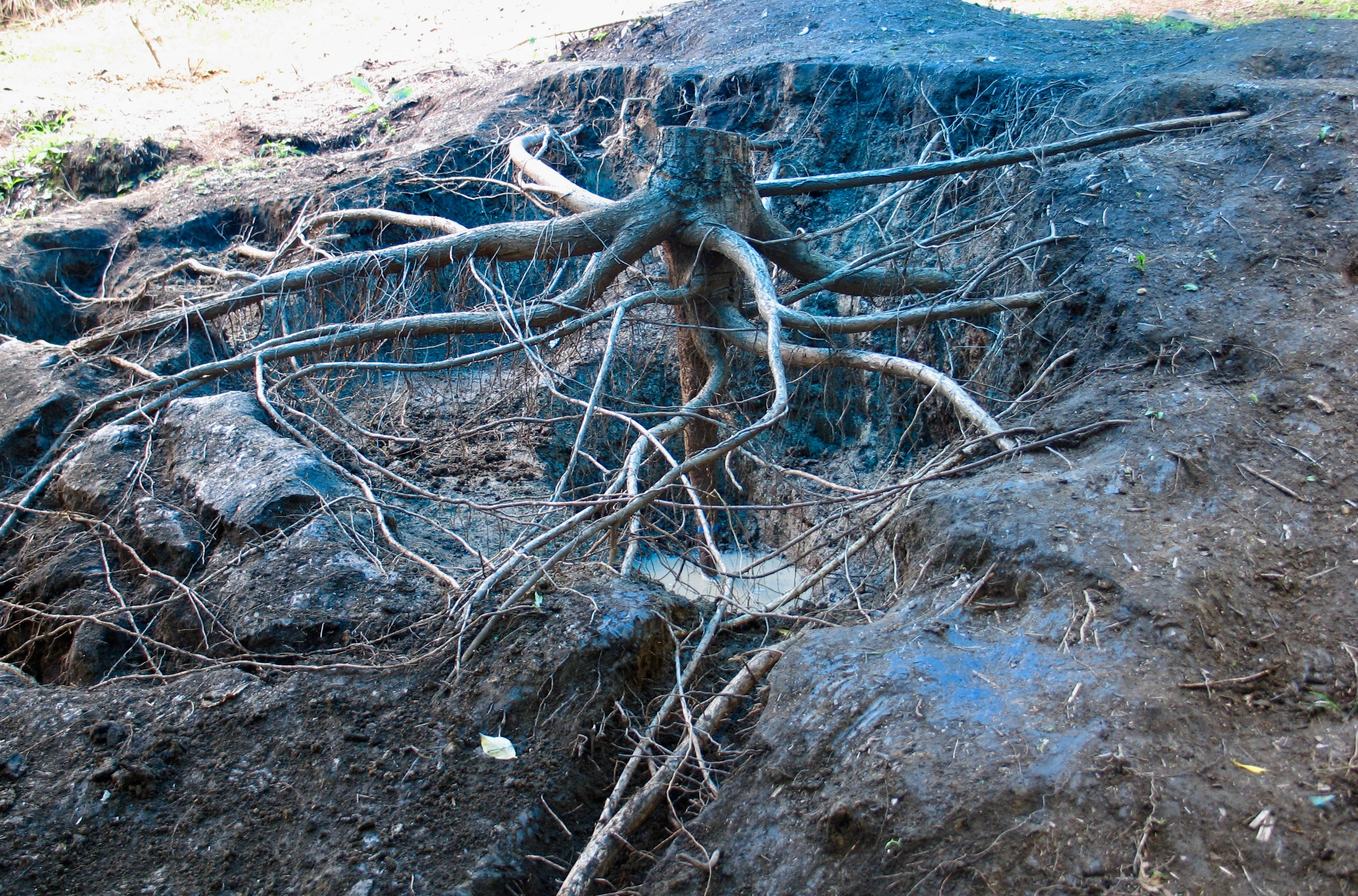 Tropical Tree Roots Represent an Underappreciated Carbon Pool ...