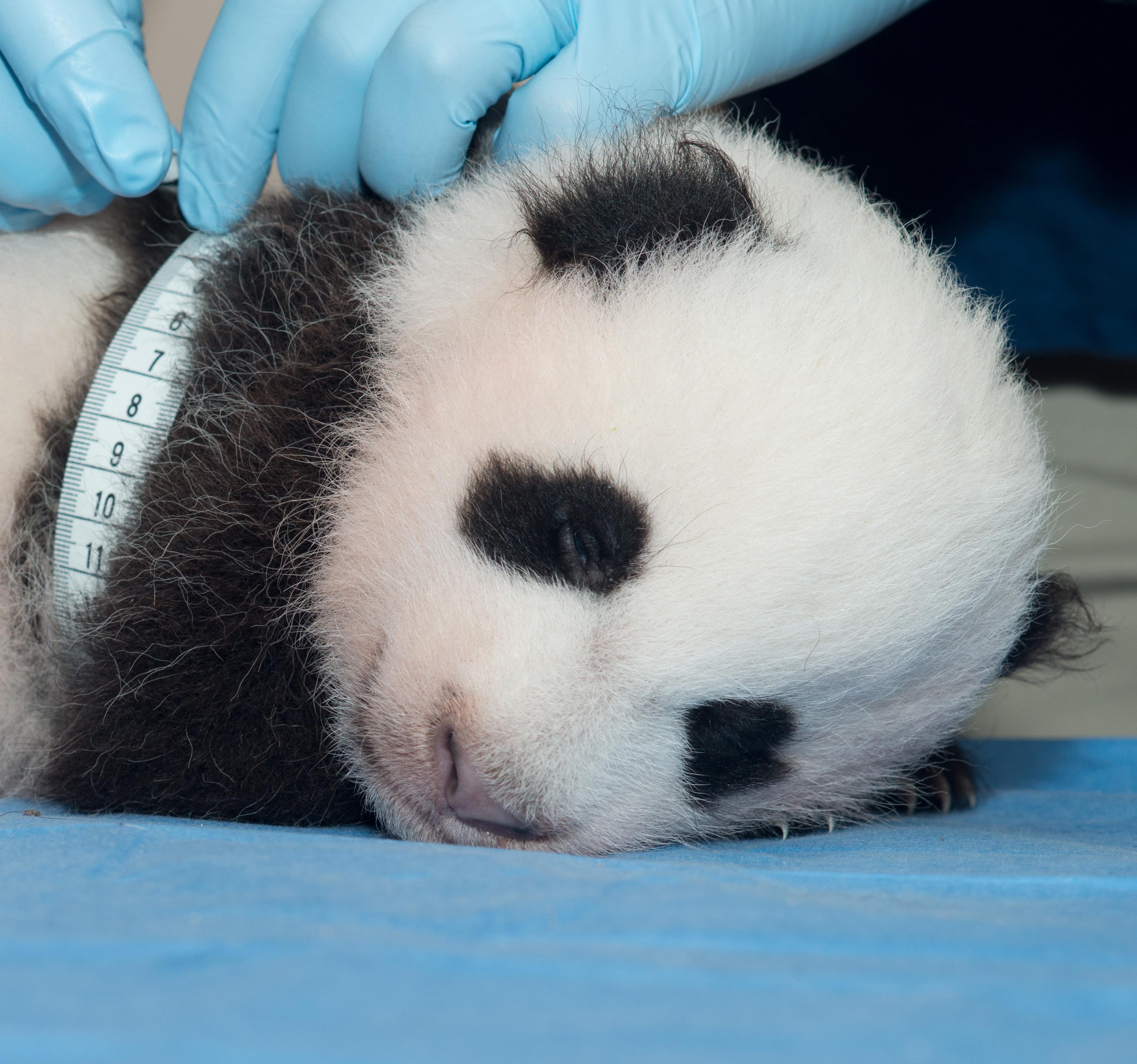 giant panda cub being measured