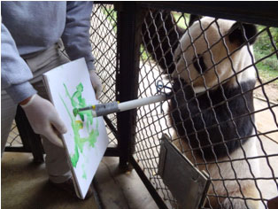 Male giant panda Tian Tian applies his natural ability to grasp bamboo