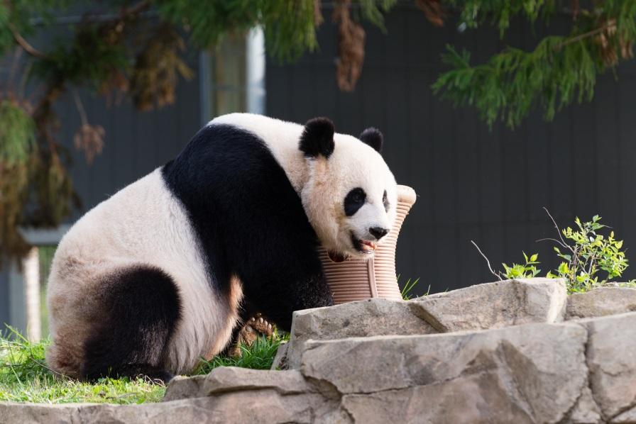 Mei Xiang Photo: Connor Mallon/Smithsonian's National Zoo