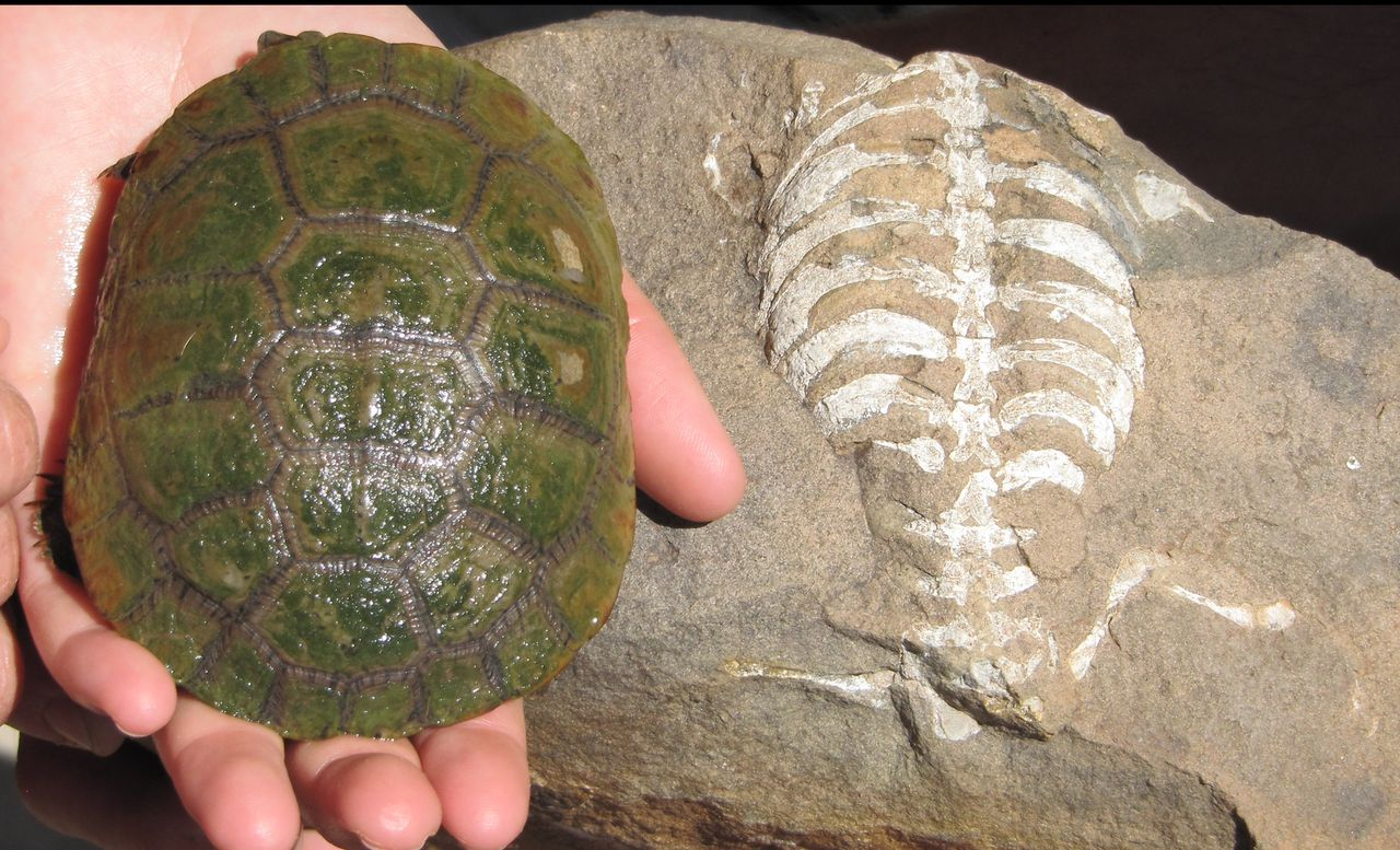 Modern turtle shell next to fossilized turtle skeleton