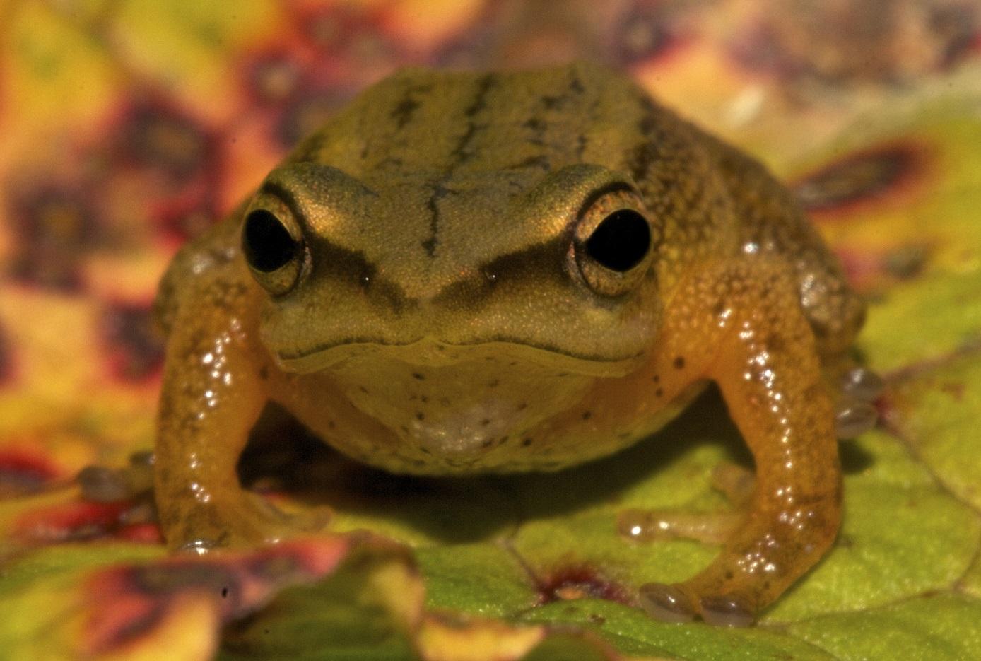 Prismantis dorado frog