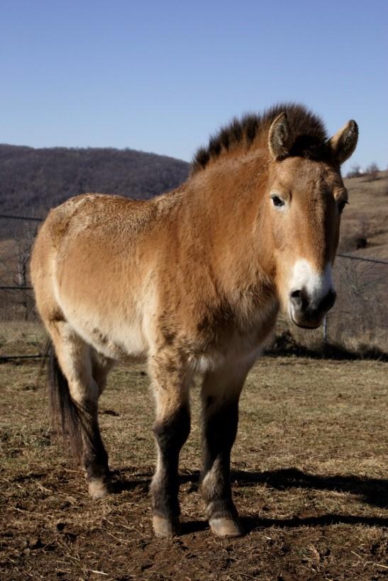 Przewalski's horse named Rolles