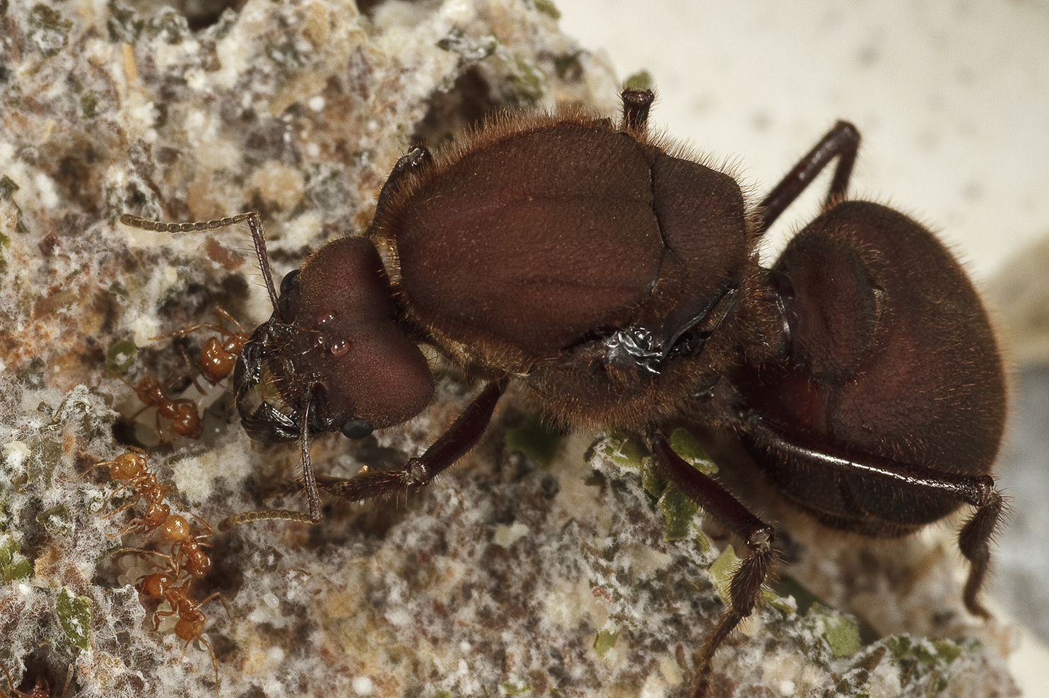Queen ant with nurse ants
