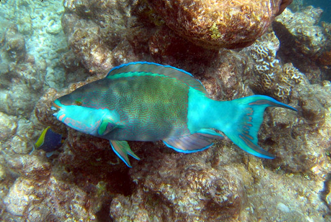 Bright blue parrotfish